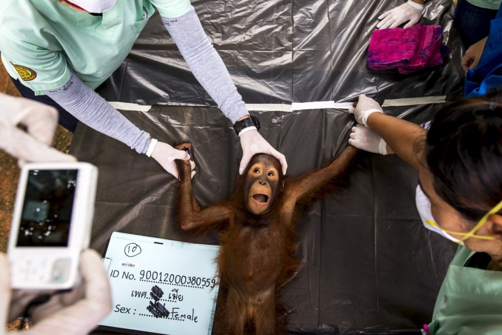 a-2-year-old-orangutan-is-getting-a-health-check-before-bein