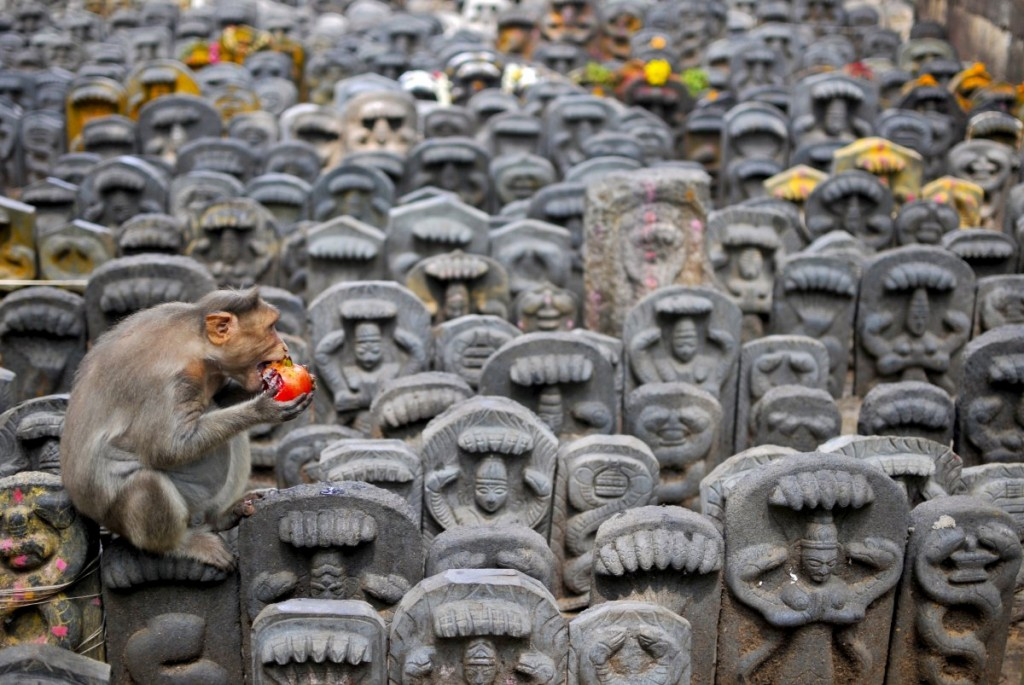 a-bonnet-macaque-sits-on-consecrated-idols-of-snakes-as-it-e