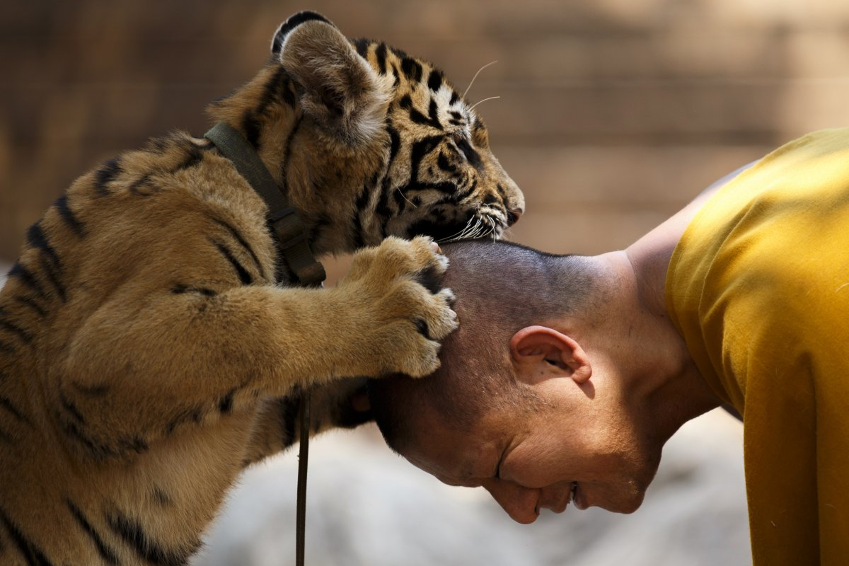 a-buddhist-monk-plays-with-a-tiger-at-the-wat-pa-luang-ta-bu