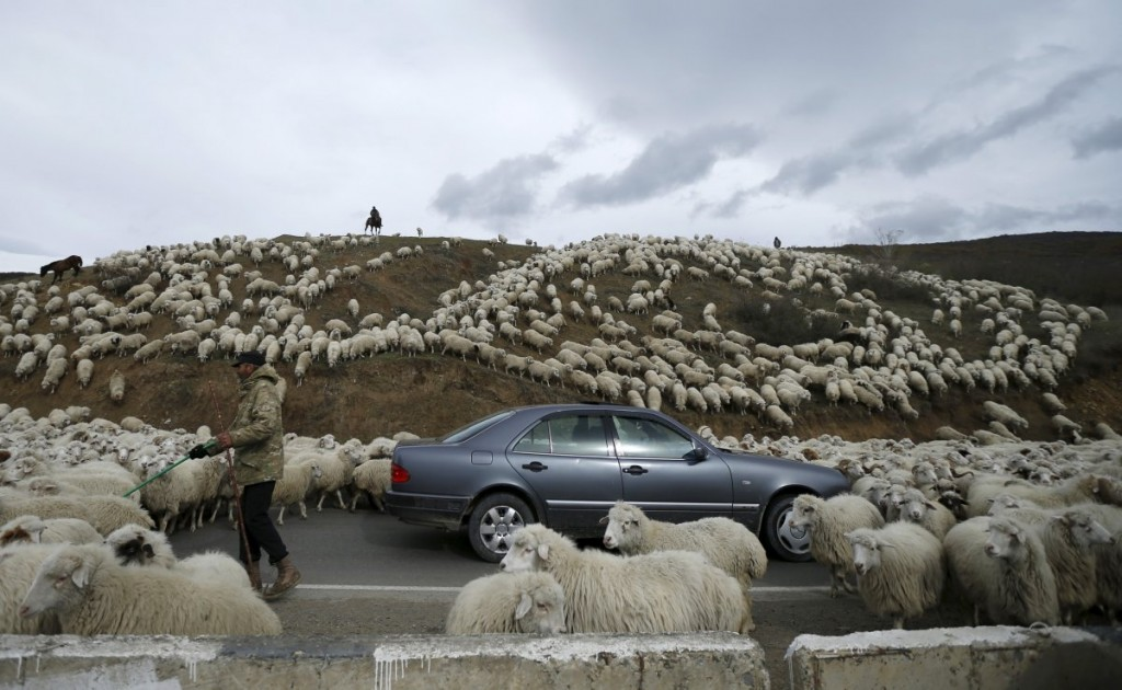 a-car-is-surrounded-by-sheep-as-they-return-home-from-grazin