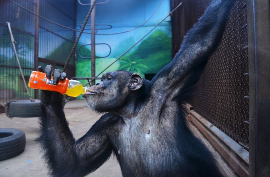 a-chimpanzee-drinks-a-beverage-to-cool-off-the-summer-heat-i