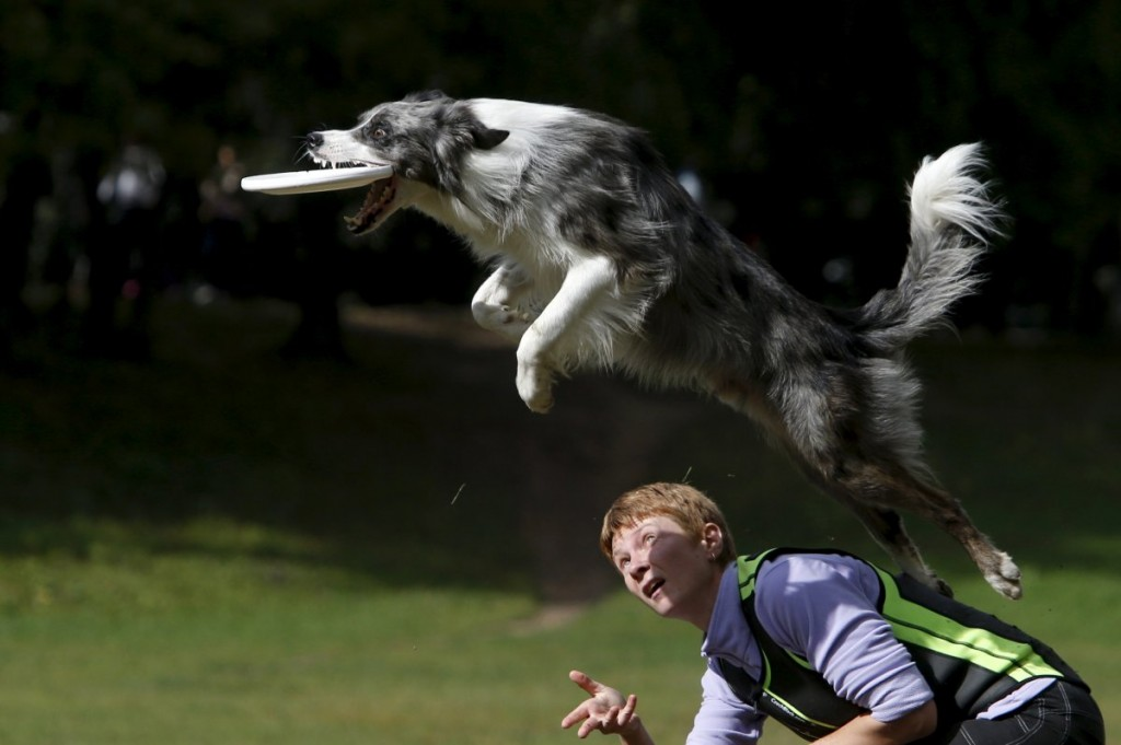 a-dog-catches-a-frisbee-during-a-dog-frisbee-competition-in-