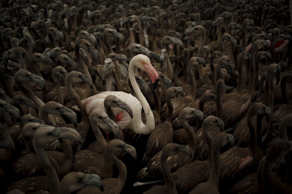 a-flamingo-and-flamingo-chicks-are-seen-in-a-corral-before-b