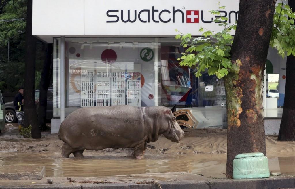 a-hippopotamus-walks-across-flooded-street-in-tbilisi-georgi