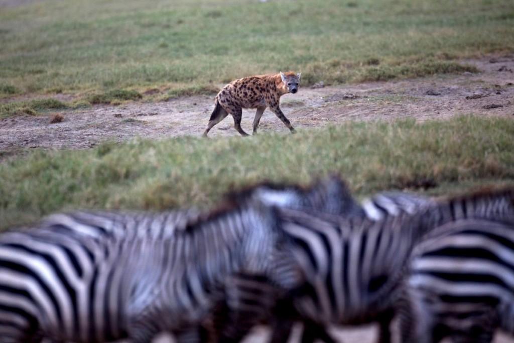 a-hyena-eyes-a-herd-of-zebra-at-lake-nakuru-national-park-ke