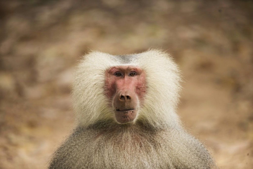 a-male-baboon-with-a-very-rare-light-colored-fur-gene-is-see