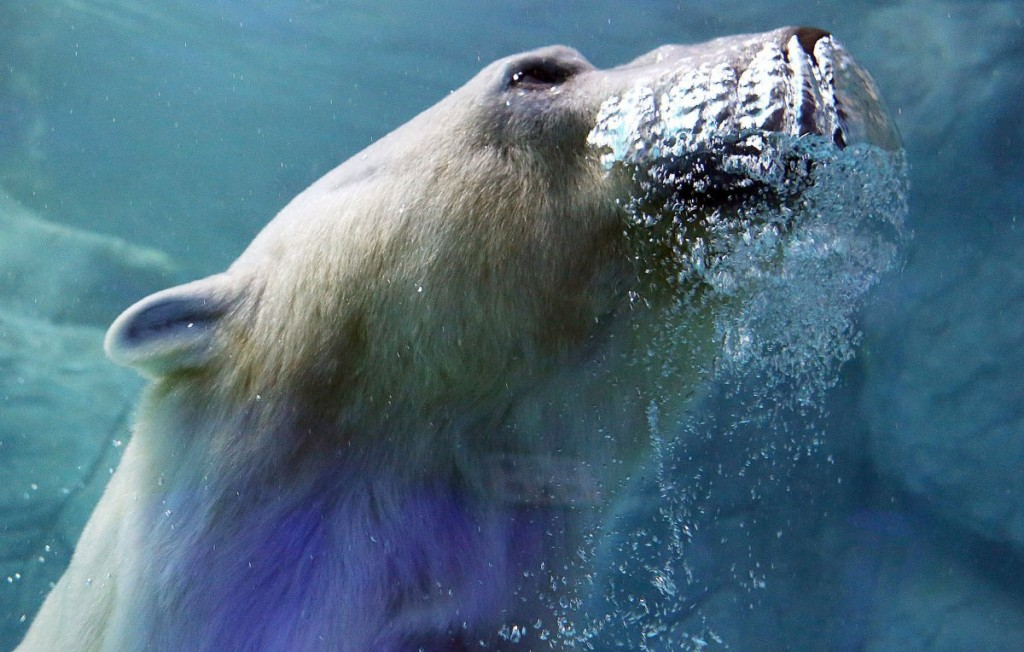a-polar-bear-which-arrived-from-russia-last-december-is-pict