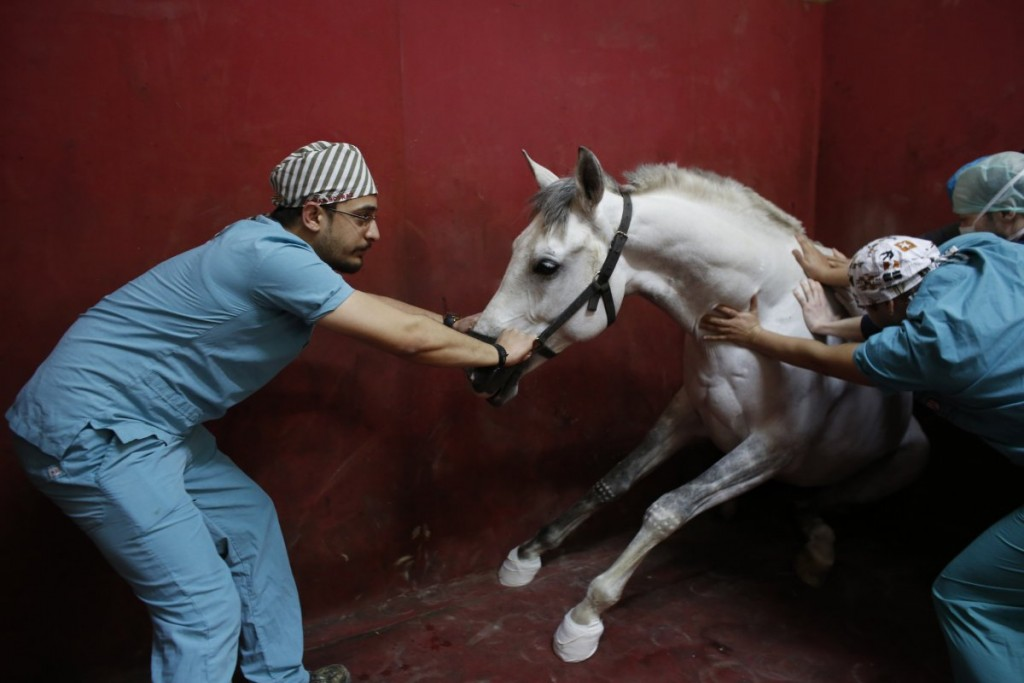 a-racehorse-begins-to-lose-consciousness-following-an-anaest
