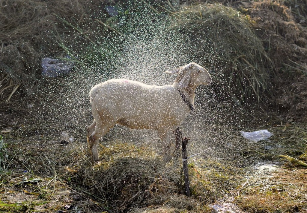 a-sheep-shakes-itself-dry-after-it-was-given-a-wash-by-its-t
