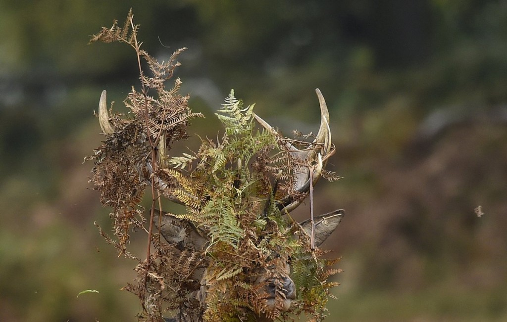a-stag-deer-covers-his-antlers-with-bracken-in-richmond-park