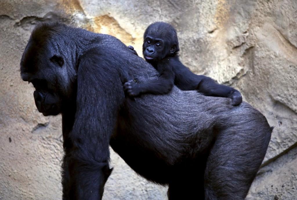 a-western-lowland-gorilla-baby-named-mjukuu-rides-on-the-bac