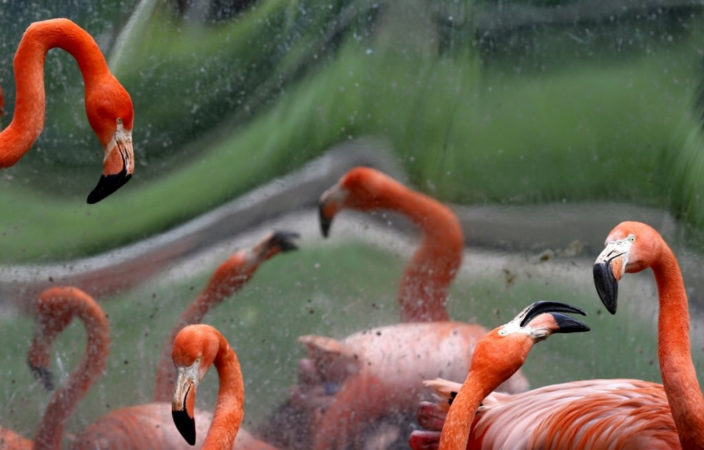 caribbean-flamingos-are-seen-in-their-enclosure-at-antwerps-