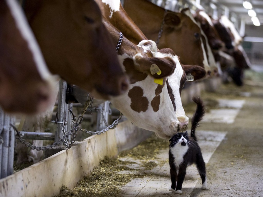 dairy-cows-nuzzle-a-barn-cat-as-they-wait-to-be-milked-at-a-