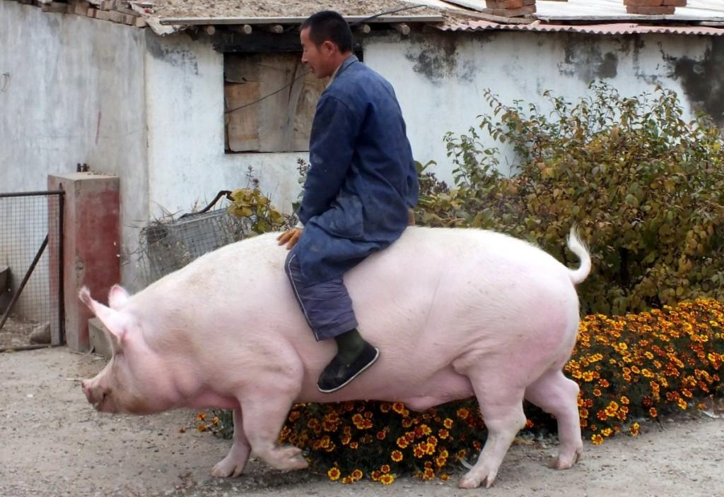 farmer-zhang-xianping-rides-his-pig-big-precious-who-weighs-