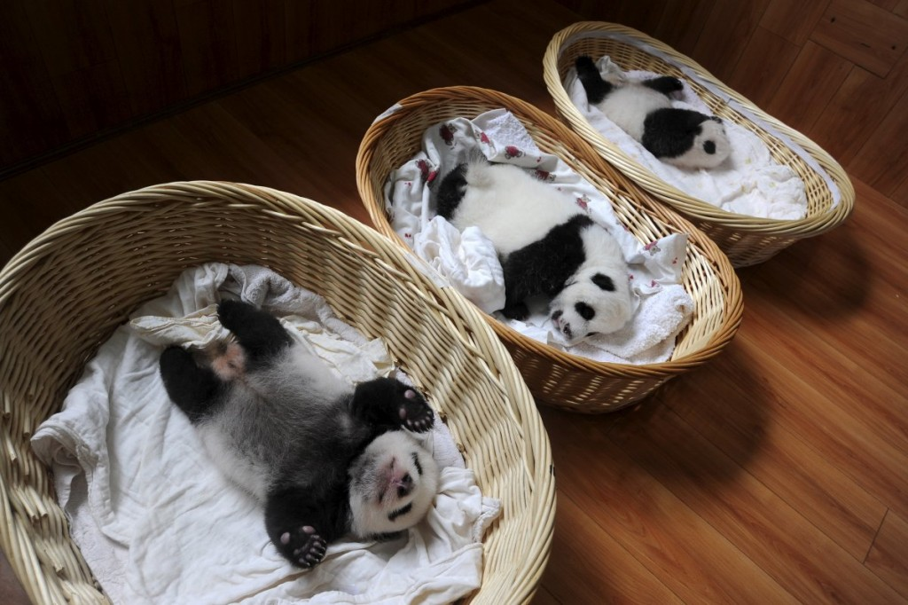giant-panda-cubs-are-seen-inside-baskets-at-a-giant-panda-br