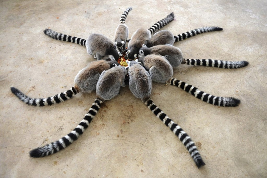 lemurs-eat-at-qingdao-forest-wildlife-world-in-qingdao-shand
