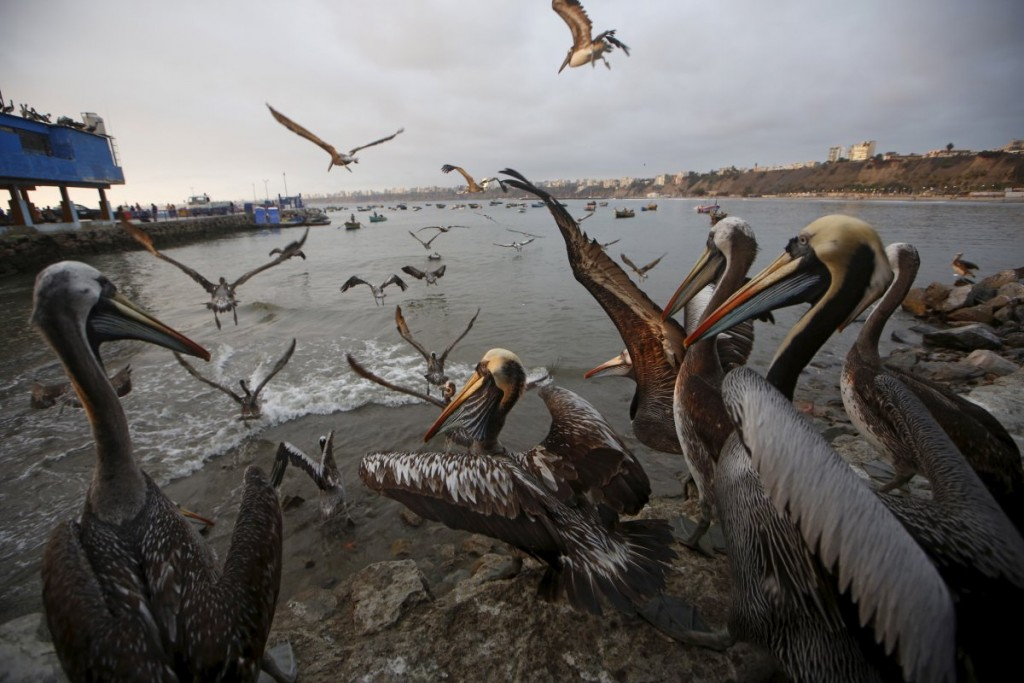 pelicans-wait-for-food-at-a-market-at-pescadores-beach-in-th