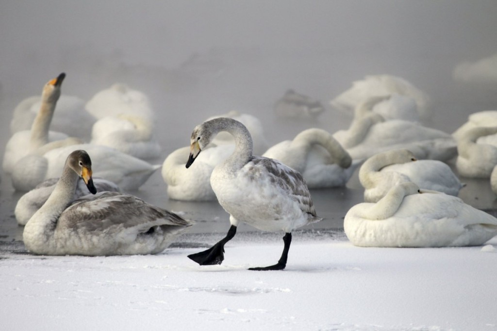 swans-gather-on-a-partially-ice-covered-lake-with-the-air-te