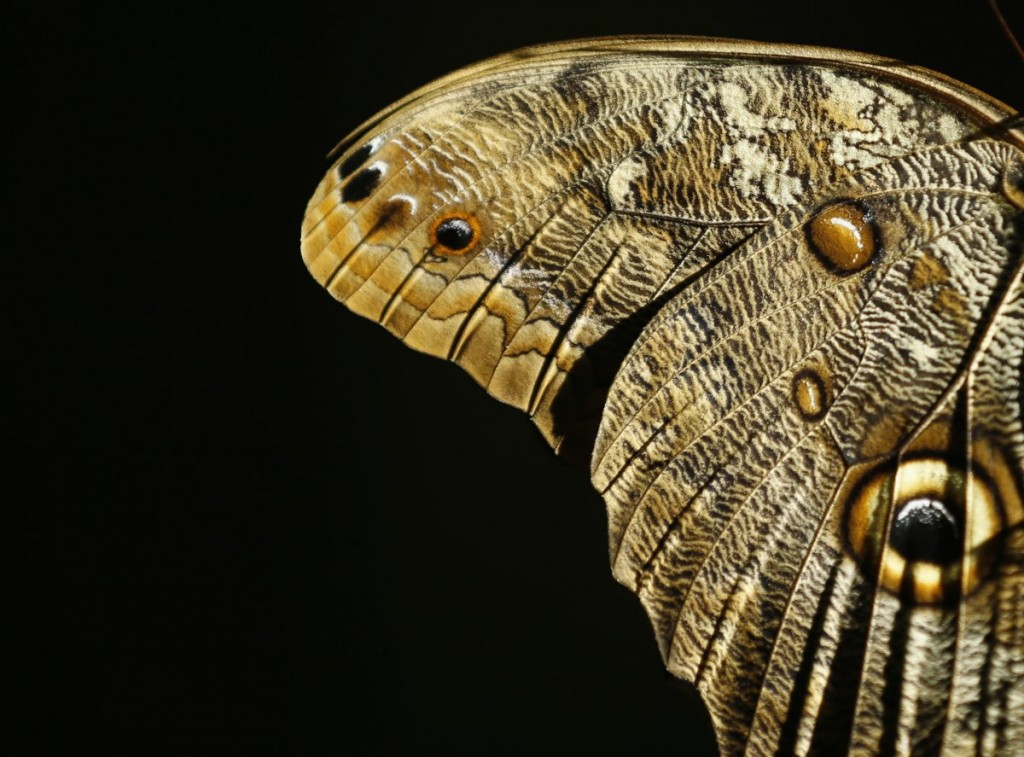the-wing-of-a-giant-owl-butterfly-is-shown-as-it-and-hundred