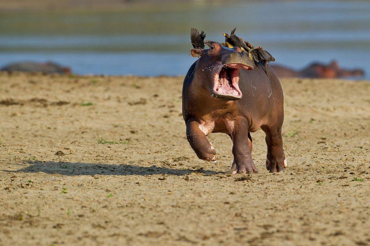 hippo-with-birds