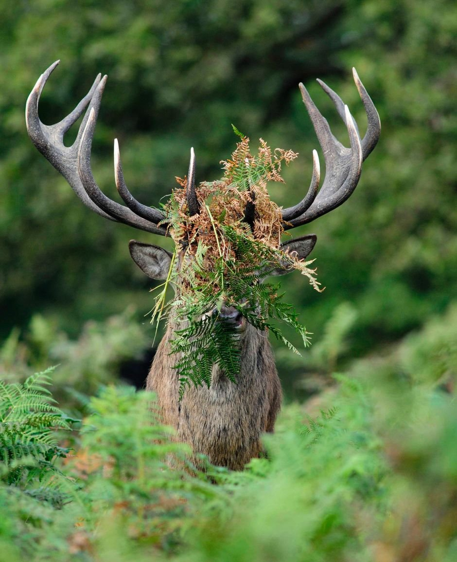 this-male-deer-in-richmond-park-london-has-a-little-something-on-its-face
