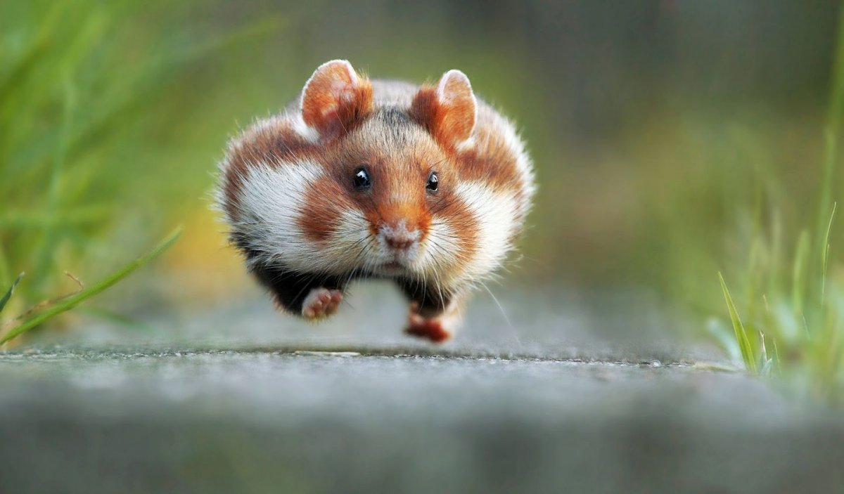 this-wild-european-hamster-is-seriously-late-for-an-appointment-this-photograph-byjulian-rad-won-the-2015-contest
