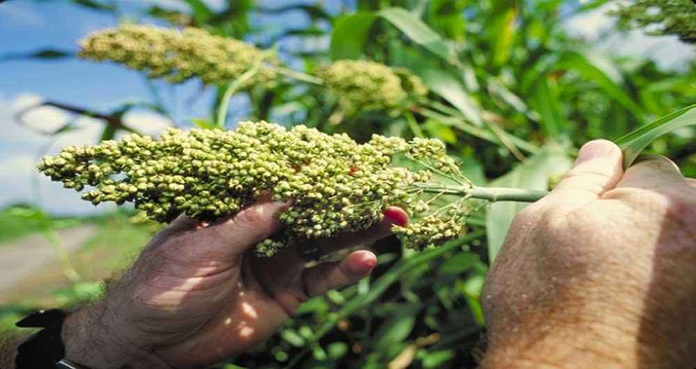 تولید زیست سوخت از گیاهان