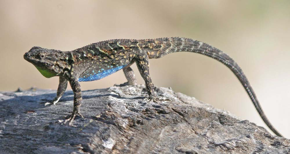 Adult-male-Ornate-Tree-Lizard
