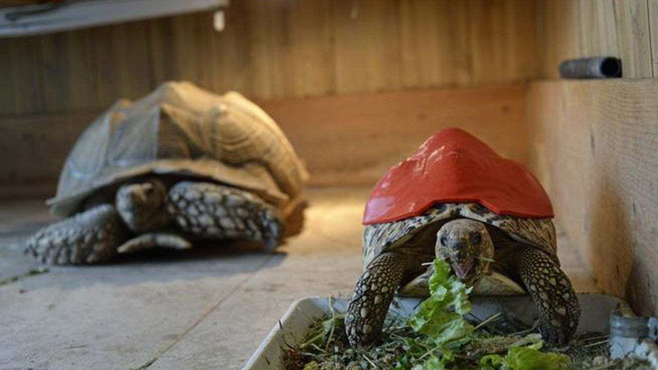 gallery-1462272306-3d-printed-tortoise-shell