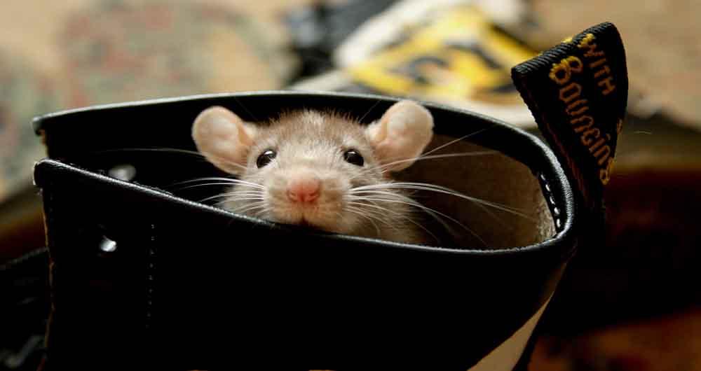 استفاده از موش در تشخیص بیماری ها و مواد منفجره