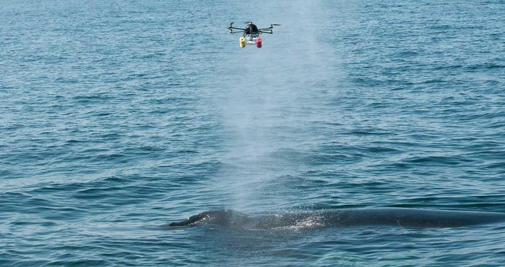 پهپادها زندگی نهنگها و دلفینها را نجات میدهند