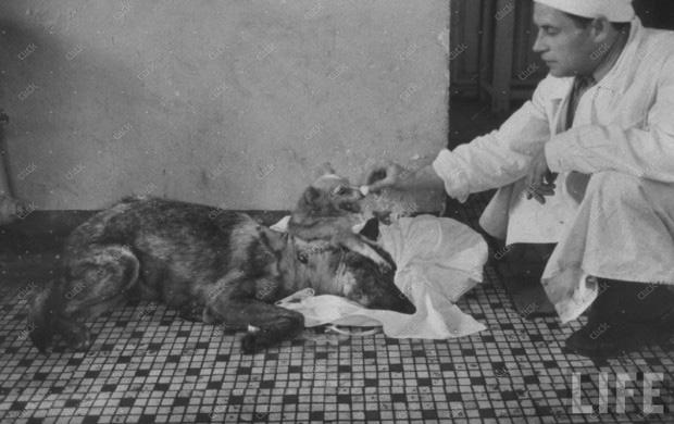 عمل جراحی پیوند سر بر روی سگ توسط ولادیمیر دمیخو
