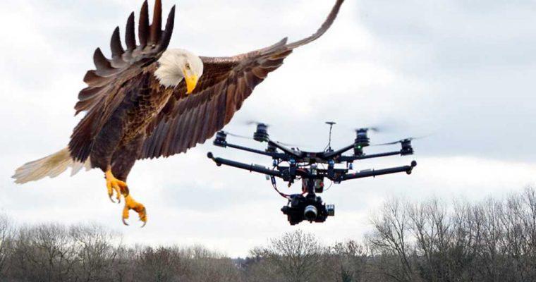 شکار پهپاد به وسیله عقاب