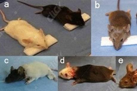 عمل جراحی پیوند سر بر روی موش ها توسط دکتر شیائوپینگ رن