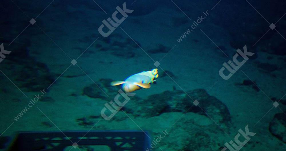 یک هشت پای Dumbo. با باله های مانند گوش های فیل، در حال شنا به سمت شناور در نوک کوه دریایی کوک، دیده شده در طی یک شیرجه به آتشفشان زیر آب کشف نشده در جزیره بزرگ هاوایی