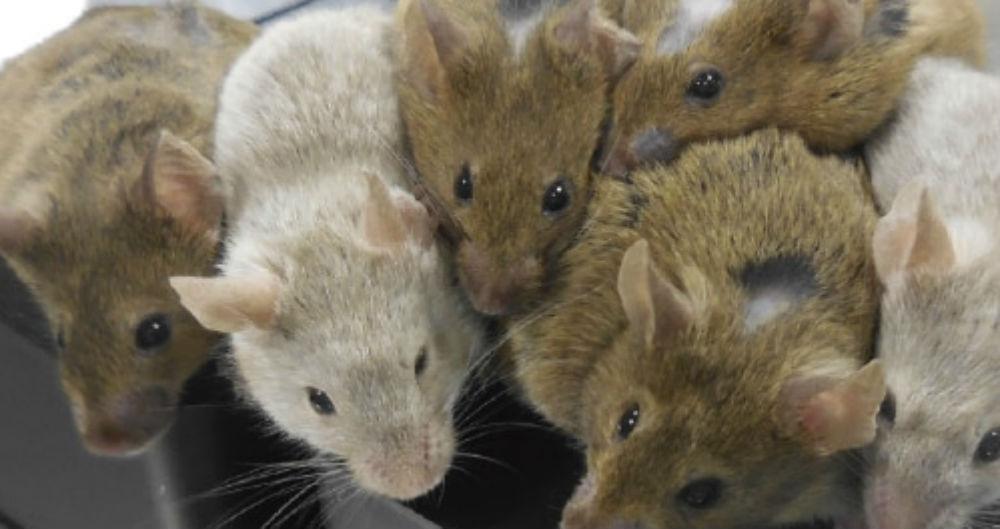 باروری موش ماده از طریق تخمک مصنوعی