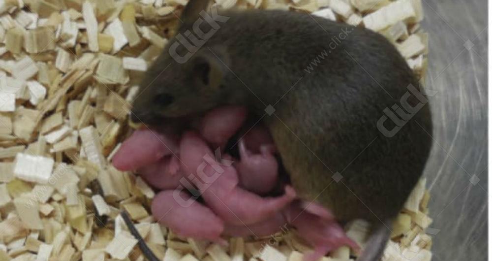 توله موش ها و مادر آن ها