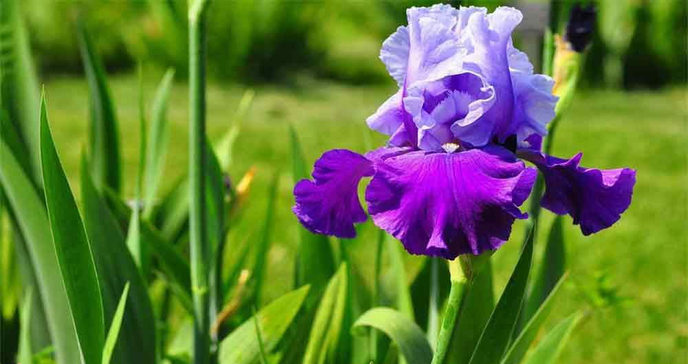 کشف گونه جدیدی زنبق در خراسان رضوی