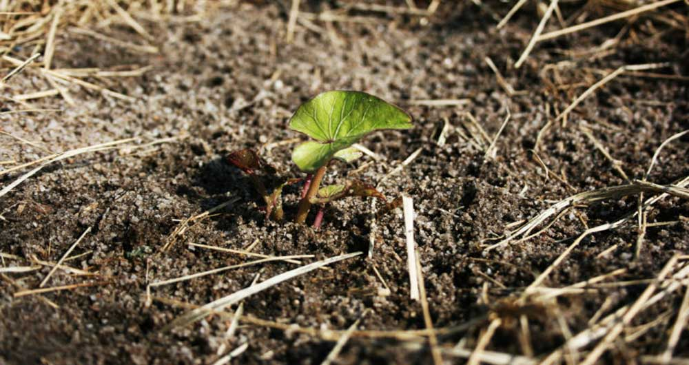 امکان کشت سیب زمینی در مریخ وجود دارد