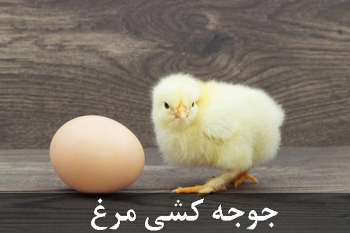 جوجه کشی مرغ