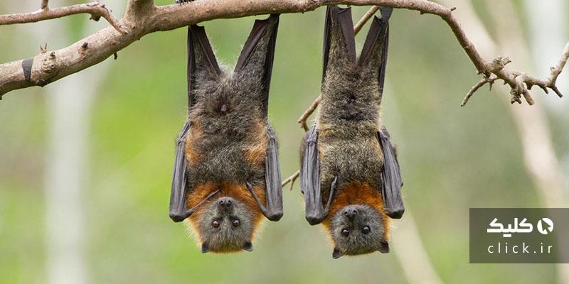 خفاش و کووید19