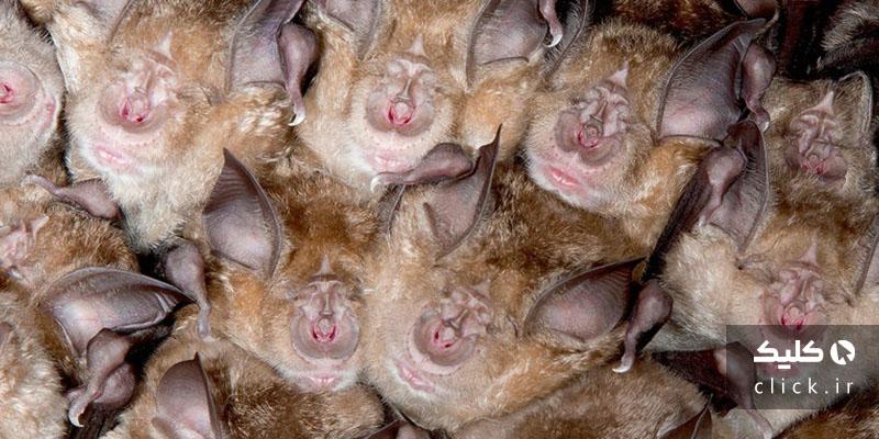 خفاش های نعل اسبی